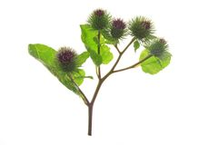 Burdock (Arctium lappa) Royalty Free Stock Photos