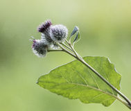 Burdock Royalty Free Stock Images