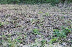 Burdock. A bevelled field of Arctium commonly known as Burdock stock photos
