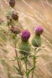 burdock bleknat gräs royaltyfri foto