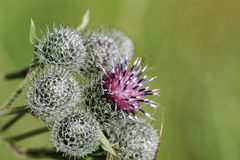 Burdock stock photography