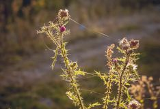 Burdock with cobwebs against the sun on a blurry background_ stock photo