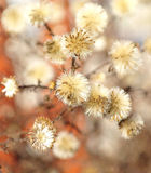 Burdock with dried flowers Royalty Free Stock Photo