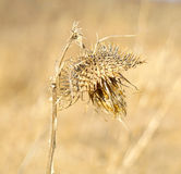 Burdock with dried flowers stock photography