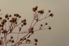 Burdock dry in nature Stock Photography