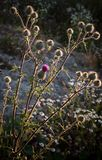 Burdock with evening sun back-lit Royalty Free Stock Photos