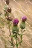 Burdock in Faded Grass. Photo of Burdock in Faded Grass Royalty Free Stock Photo