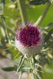 Burdock flower. With blurred leaves in background Stock Photos