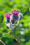 Burdock flower Stock Photography
