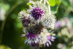 Burdock flower Arctium lappa of lilac color close-up. Aggressive weed of burrs stock photo
