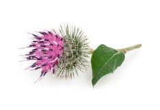 Burdock flower Stock Images