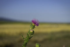 Burdock flower in the wild, summer day, blurry background, blue sky, yellow elysees Stock Photography