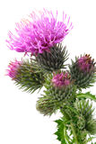 Burdock flowers Stock Image
