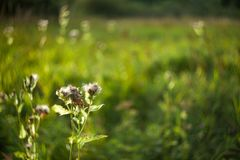 Burdock flowers on a blurred background of the glade lit by the. Evening sun with bokeh stock photo