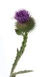 Burdock flowers Stock Photos