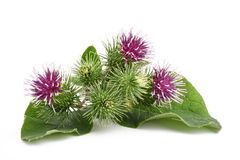 Greater Burdock flowers. Burdock flowers isolated on a white background royalty free stock image