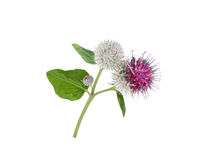 Burdock flowers and leaves isolated on white. Burdock or arctium flowers and leaves isolated on white stock photos