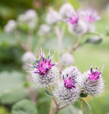 Burdock. Flowers and burdock seeds close up Royalty Free Stock Photos