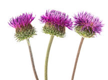Burdock flowers Stock Images