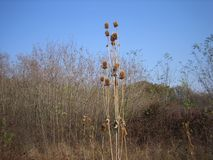 Burdock. Golden yellow burdock in November. This meadow `beauty` with its hooks loves to cling to everything that is found in its vicinity, and is very much royalty free stock images