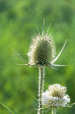 Burdock on green background. Wild burdock on green background close-up Stock Photo