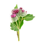 Burdock head. Isolated on white background Stock Images