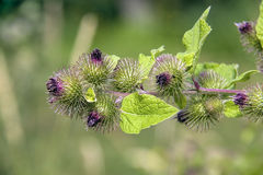 Burdock Herb Branch Stock Image
