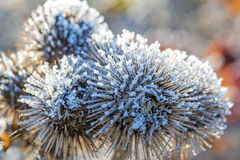 Burdock with ice crystals Stock Images