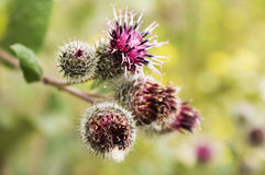 Burdock Inflorescence. Closeup view macro Stock Image
