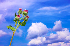 Burdock inflorescences against sky Stock Images