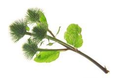 Burdock (lappa arctium) Στοκ Εικόνες