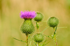 Burdock (lappa d'Arctium) Photos stock