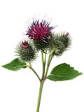 Burdock (lappa do arctium) Imagem de Stock Royalty Free