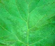 Burdock leaf Stock Images