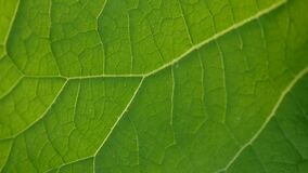 Burdock leaf macro. Arctium. HD video. HD video footage motion camera. Panorama stock video