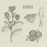 Burdock medical botanical isolated illustration. Plant, root, leaves, blossoming hand drawn set. Vintage sketch. Burdock medical botanical isolated illustration Stock Images