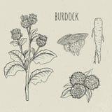 Burdock medical botanical isolated illustration. Plant, root, leaves, blossoming hand drawn set. Vintage sketch. Stock Images