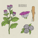 Burdock medical botanical isolated illustration. Plant, root, leaves, blossoming hand drawn set. Vintage sketch colorful Royalty Free Stock Image