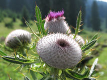 Burdock plant. With multiple flower heads on a meadow Royalty Free Stock Image