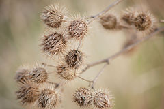 Burdock (plant thistle) Royalty Free Stock Photo