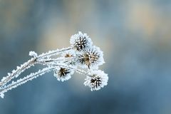 Burdock plants covered with white fluffy crystals of cold ice. And frost Royalty Free Stock Image