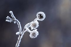 Burdock plants covered with white fluffy crystals of cold ice an. D frost Stock Photo
