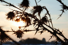 Burdock shadow silhouette full of thorn on dusk sunset background royalty free stock images