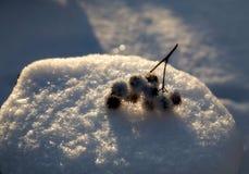 Burdock sull'albero mozzo coperto da una neve Immagini Stock Libere da Diritti