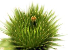 The burdock thistle Stock Photography