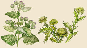 Burdock and thistle. Painted in vintage manner on buff background Stock Image