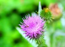 Burdock thorny flower. (Arctium lappa) on green blur background Royalty Free Stock Photo