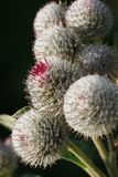 Burdock vertical macro on dark background Royalty Free Stock Photography