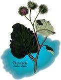 Burdock. Vintage illustration of burdock plant Stock Images