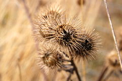 Burdock is waiting for a host Royalty Free Stock Photos